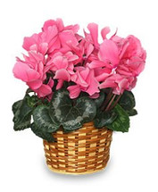 Cyclamen Blooming Plant