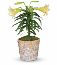 Chappell's Easter Lily Plant
