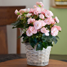 Chappell's Blooming Begonia Plant