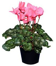 Chappell's Pink Cyclamen Blooming Plant