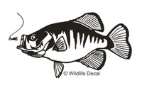 We have Crappie Fish Decals and Car Stickers. Personalize any of our fishing decals with your choice of text, color and size. These are perfect for trucks, cars, windows, gun cabinets, 4-wheelers, boats, mailboxes or any clean semi-smooth surface.