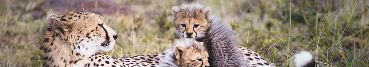Kenyan Cheetah Family With Cubs
