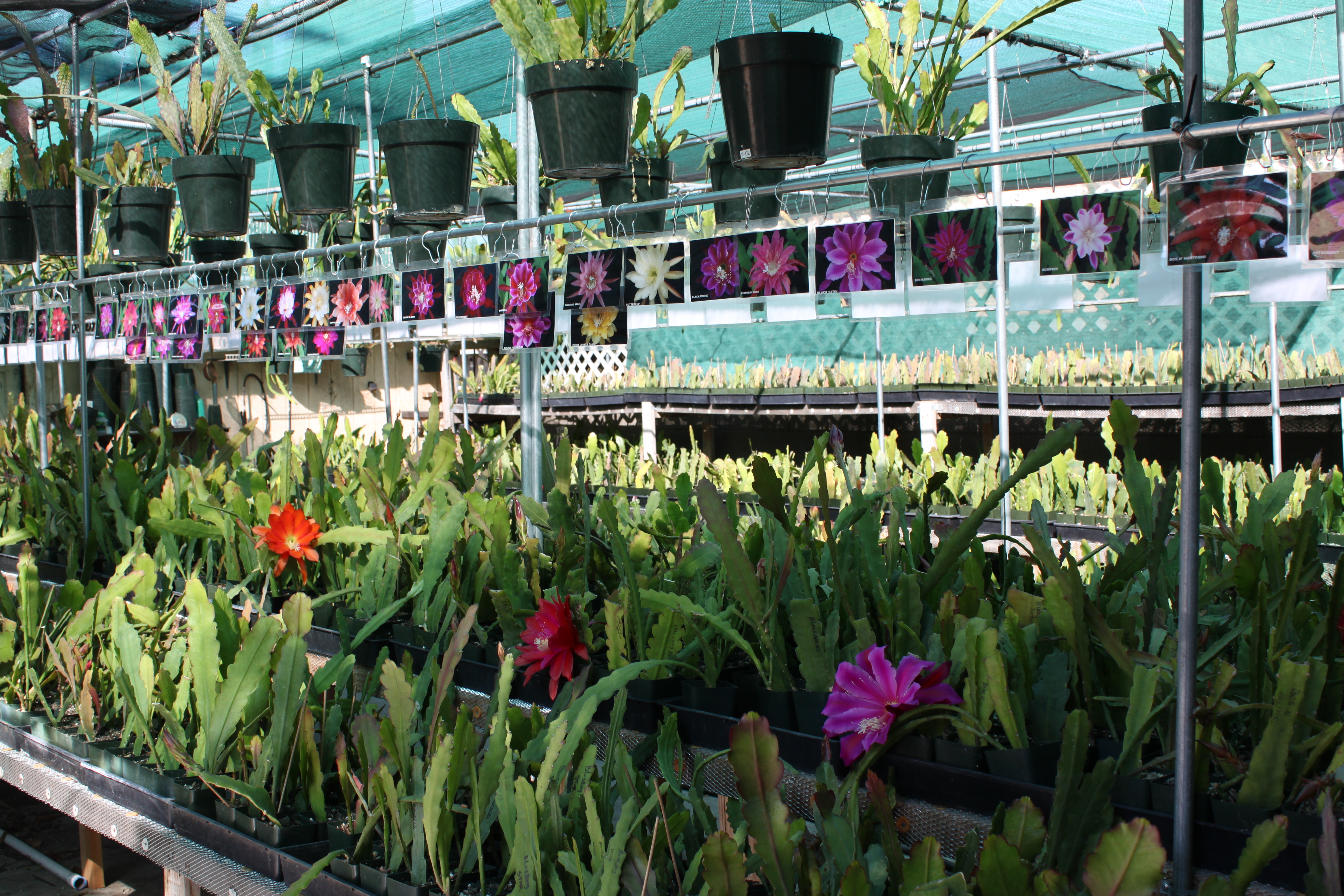 Pacific Epiphyllum nursery