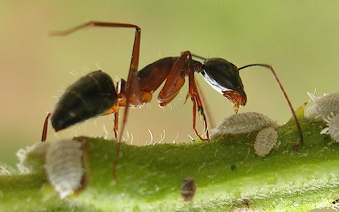 ant700.jpg