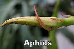aphid250.jpg