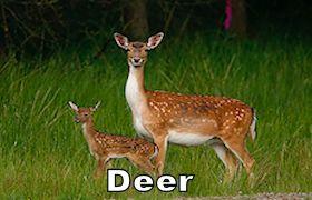 deer280.jpg