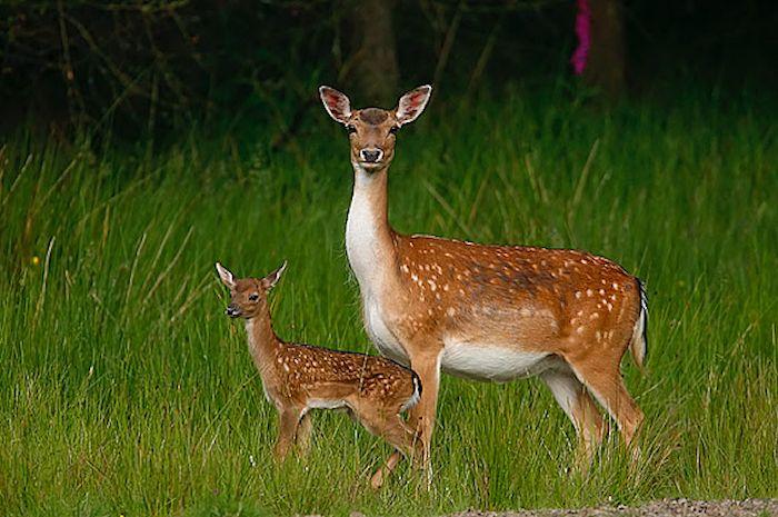 deer700.jpg