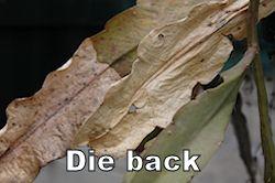 dieback250.jpg