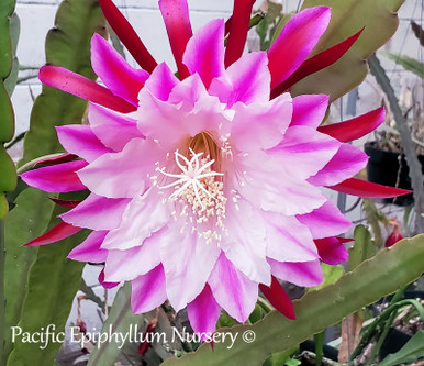 Epiphyllum flower Supernatural