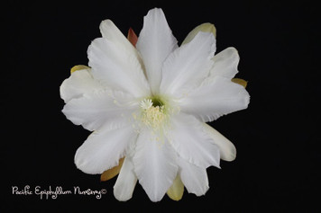 Winged Victory (Rooted Epiphyllum Plant)