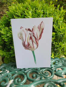Striped Tulip Card by Sarah Cameron - Blank Inside - Choice of Pack Sizes