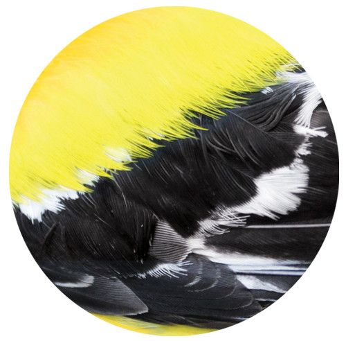 Goldfinch Feather Sandstone Ceramic Coaster | Front