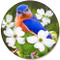 Bluebird on Dogwood Sandstone Ceramic Coaster | Front