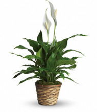 Simply Elegant - Peace Lily