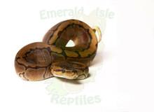 Pinstripe Royal (Ball) Python Female CB2018 ♀