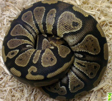100% Het Pied Royal (Ball) Python - Female (CB2017)