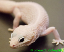 Leopard Gecko - Blizzard