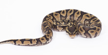Chocolate Pastel Royal (Ball) Python Male  CB2015  ♂