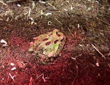 Green Horned Frog (Ceratophrys cranwelli)