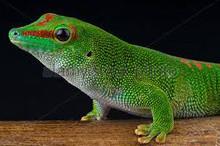 Giant Madagascan Day Gecko (Phelsuma grandis)