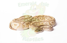 Phantom Crystal (Possible Yellowbelly) Royal (Ball) Python Female CB2017 ♀