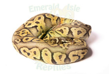 Super Pastel GHI 100% Het Ghost Breeder Royal (Ball) Python Male ♂