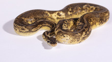 Pastel Calico Royal (Ball) Python Female CB2016 ♀
