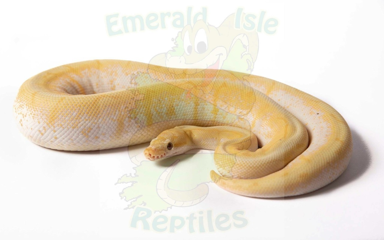Banana Fire Pastel Spider Royal Python