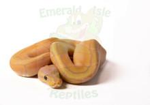 Banana Lemonblast Royal (Ball) Python Female CB2018
