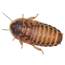 Dubia Roaches - Adult