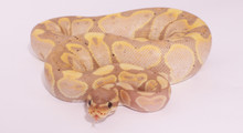 Banana Pastel Het Pied Royal (Ball) Python - Male (CB2020) ♂