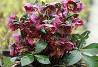 Helleborus x 'Anna's Red'