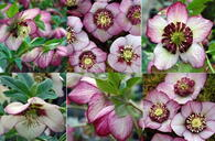 Helleborus x hybridus Winter Jewels Cherry Blossom Strain