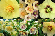 Helleborus x hybridus Winter Jewels Golden Sunrise Strain