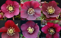 Helleborus x hybridus Winter Jewels Ruby Wine Strain
