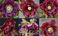 Helleborus x hybridus Winter Jewels  Amethyst Gem Strain