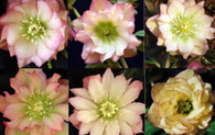 Helleborus x hybridus  Winter Jewels Amber Gem Strain
