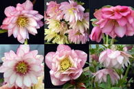 Helleborus x hybridus Winter Jewels Cotton Candy Strain