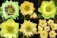 Helleborus x hybridus Winter Jewels Golden Lotus Strain