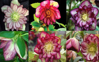 Helleborus x hybridus Winter Jewels Harlequin Gem Strain