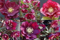 Helleborus x hybridus Winter Jewels Red Sapphire Strain