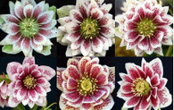 Helleborus x hybridus NGN Dbl Painted Double Strain