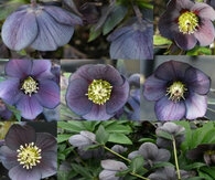 Helleborus x hybridus Winter Jewels Blue Diamond Strain