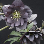 Helleborus x hybridus Winter Jewels Slate Double Strain