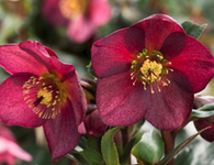 Helleborus Ice 'n Roses 'Red'