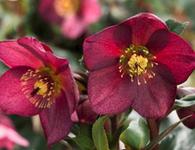 Helleborus Ice 'n Roses 'Red'