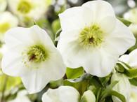 Helleborus Ice 'n Roses 'White'