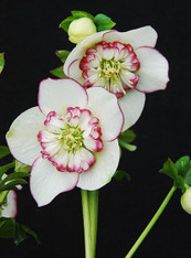 Helleborus x hybridus Winter Jewels Picotee Pearl Strain