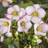 Helleborus Ice 'n Roses 'Picotee'
