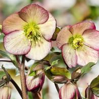 Helleborus Ice 'n Roses 'Dark Picotee'